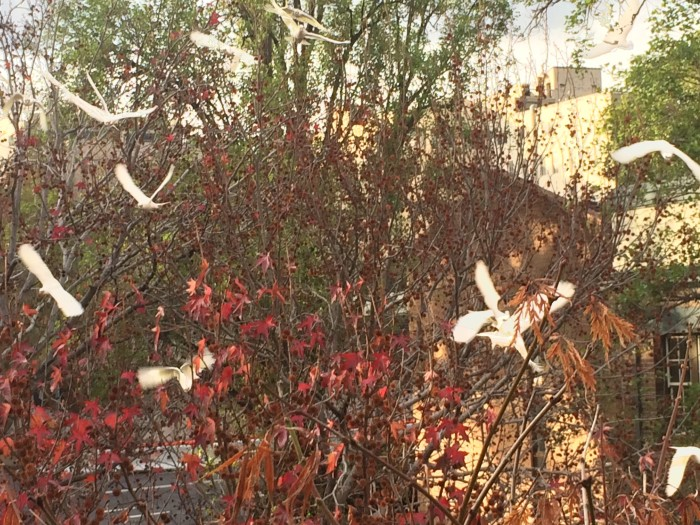 A flock of cockatoos land in the liquidambar tree next to our balcony.